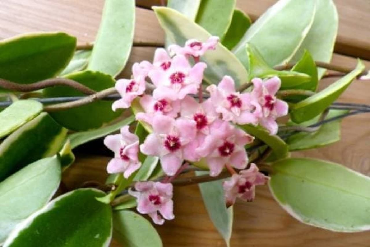 日本では珍しいオーストラリアの多肉植物「ホヤ」