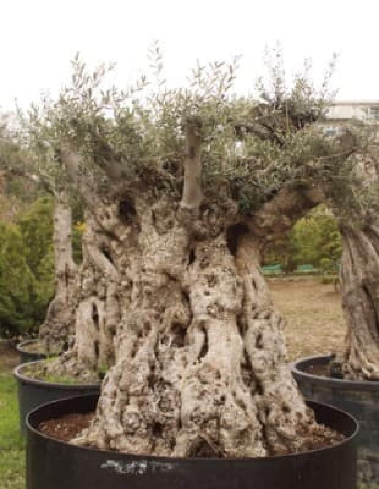 迷路の中心には樹齢500年のオリーブも!  (500万円で販売予定)