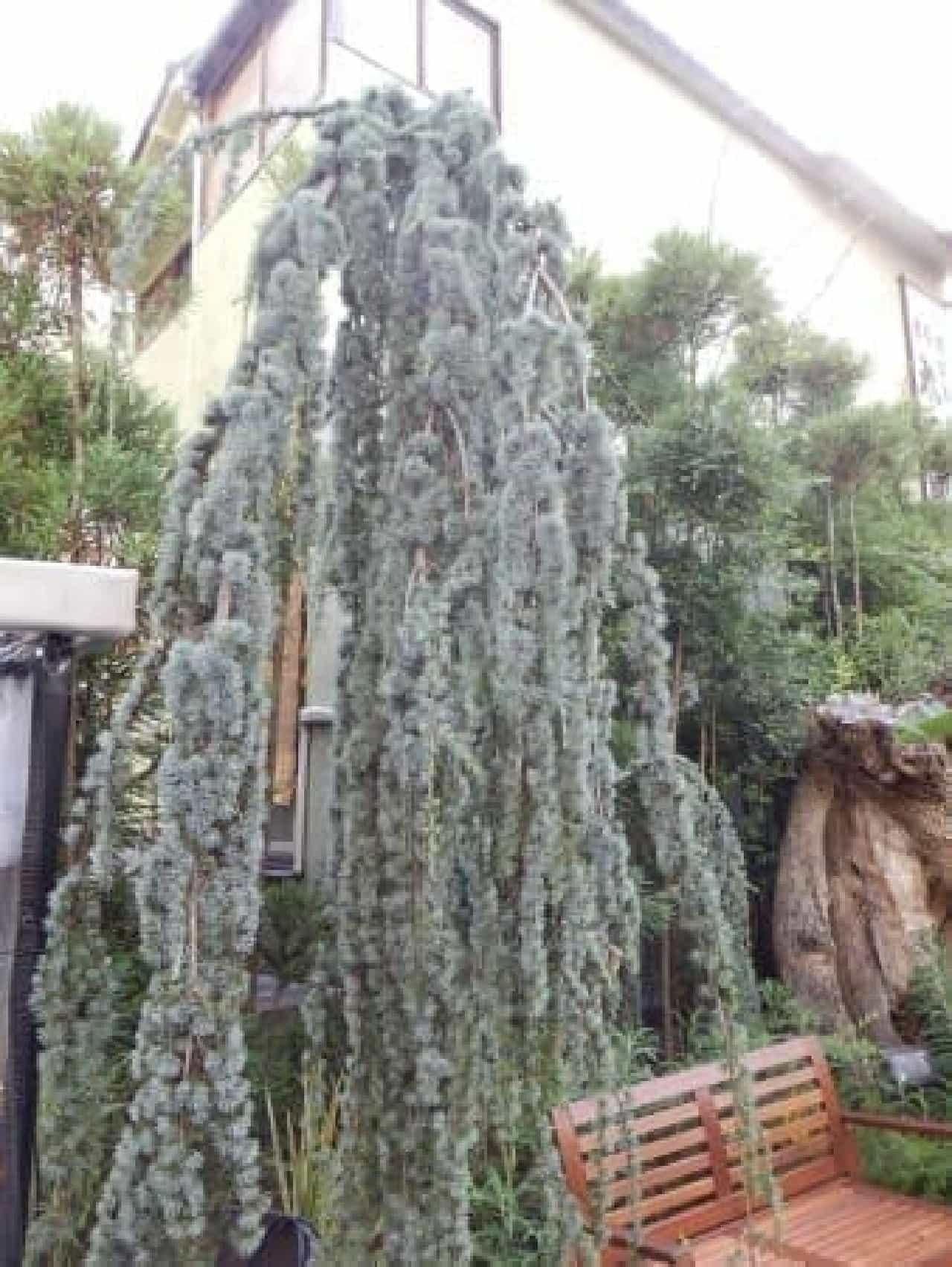 枝垂れ型のヒマラヤ杉