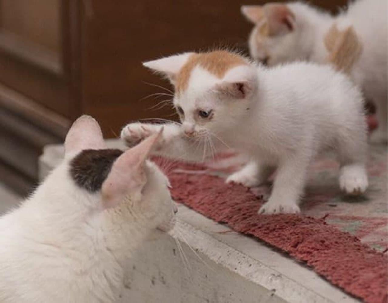 お母さんネコをにょしにょしするラブリーな子ネコ