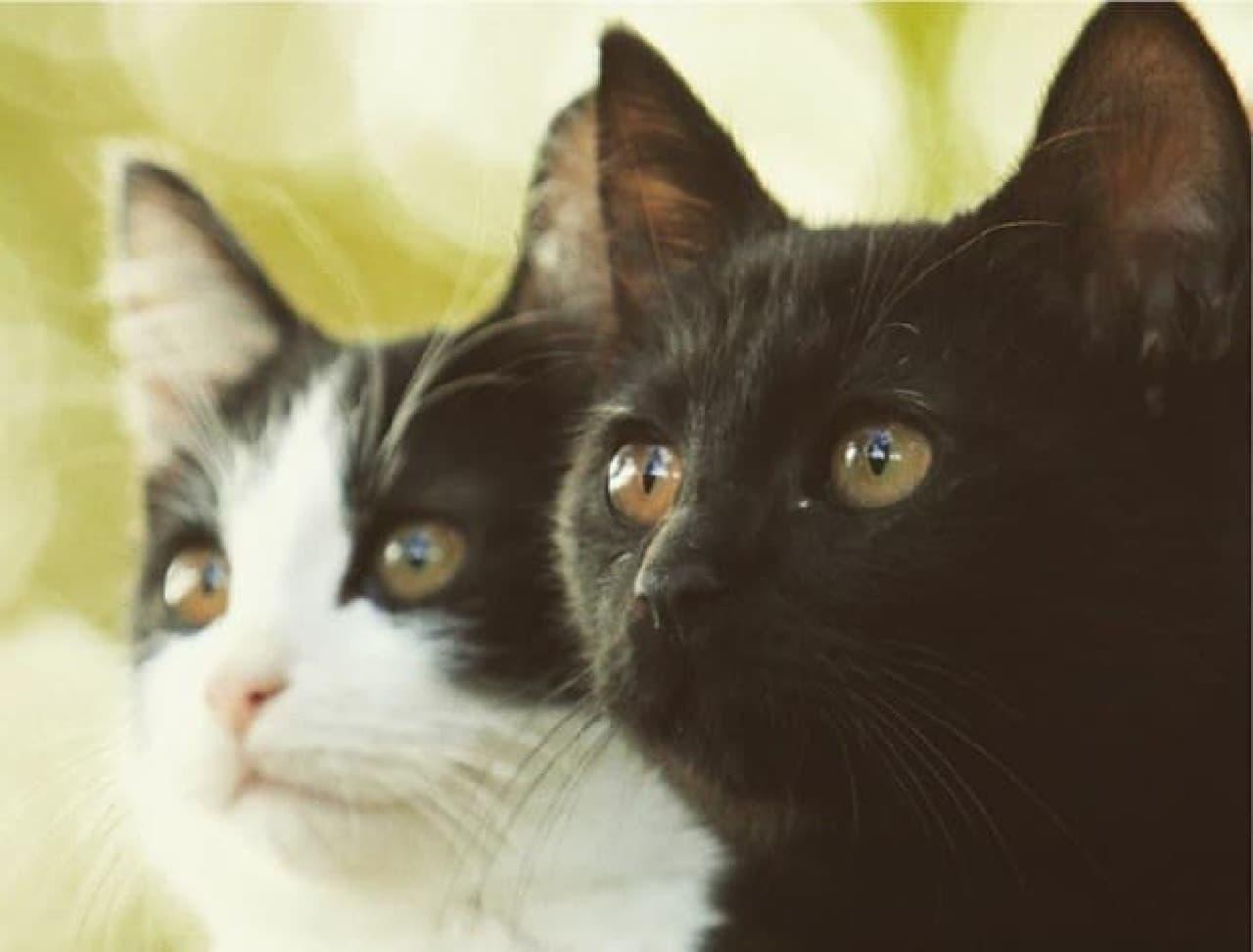 映画「猫なんかよんでもこない」に出演する  ハチワレ猫「チン」さんと、クロ猫「クロ」さん