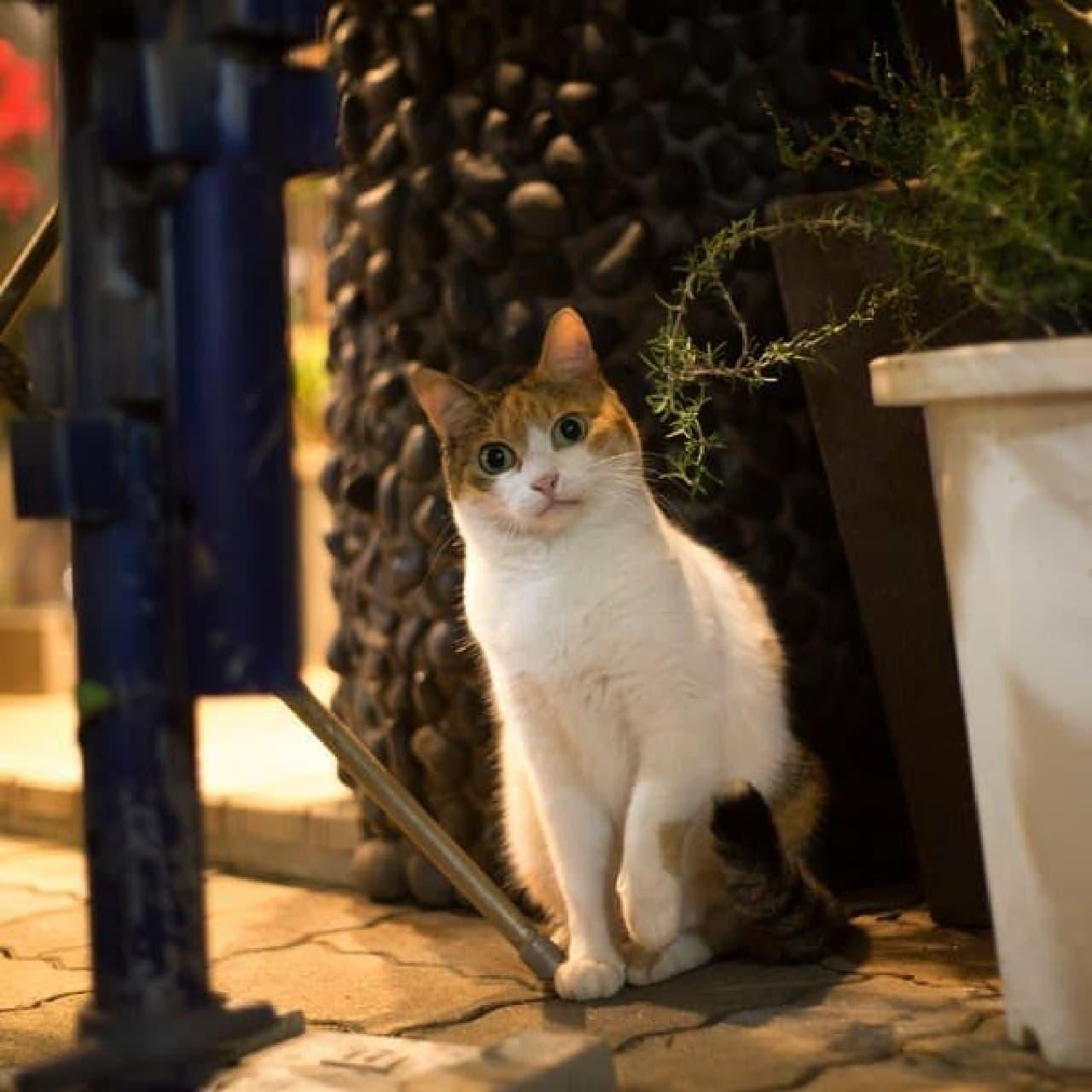 人もネコも、目が大きいと美人に見えますね