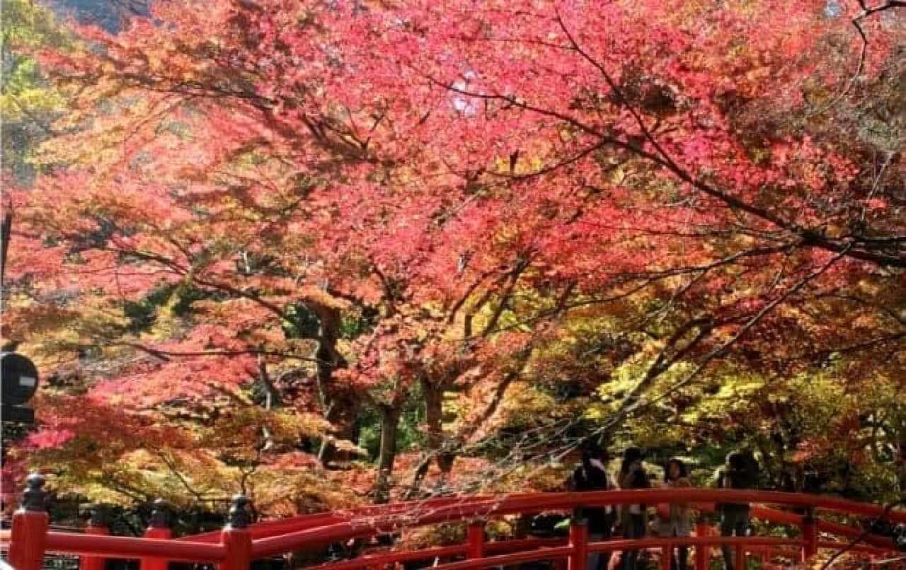 鮮やかな紅葉の例  (群馬県 伊香保温泉で「ぼんちゃん」さん撮影)