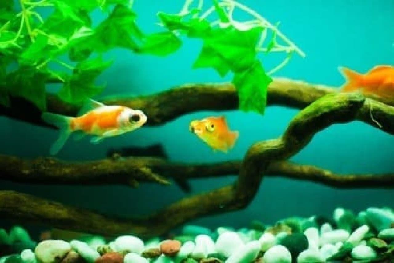 魚は水質変化に強い金魚がオススメとのこと