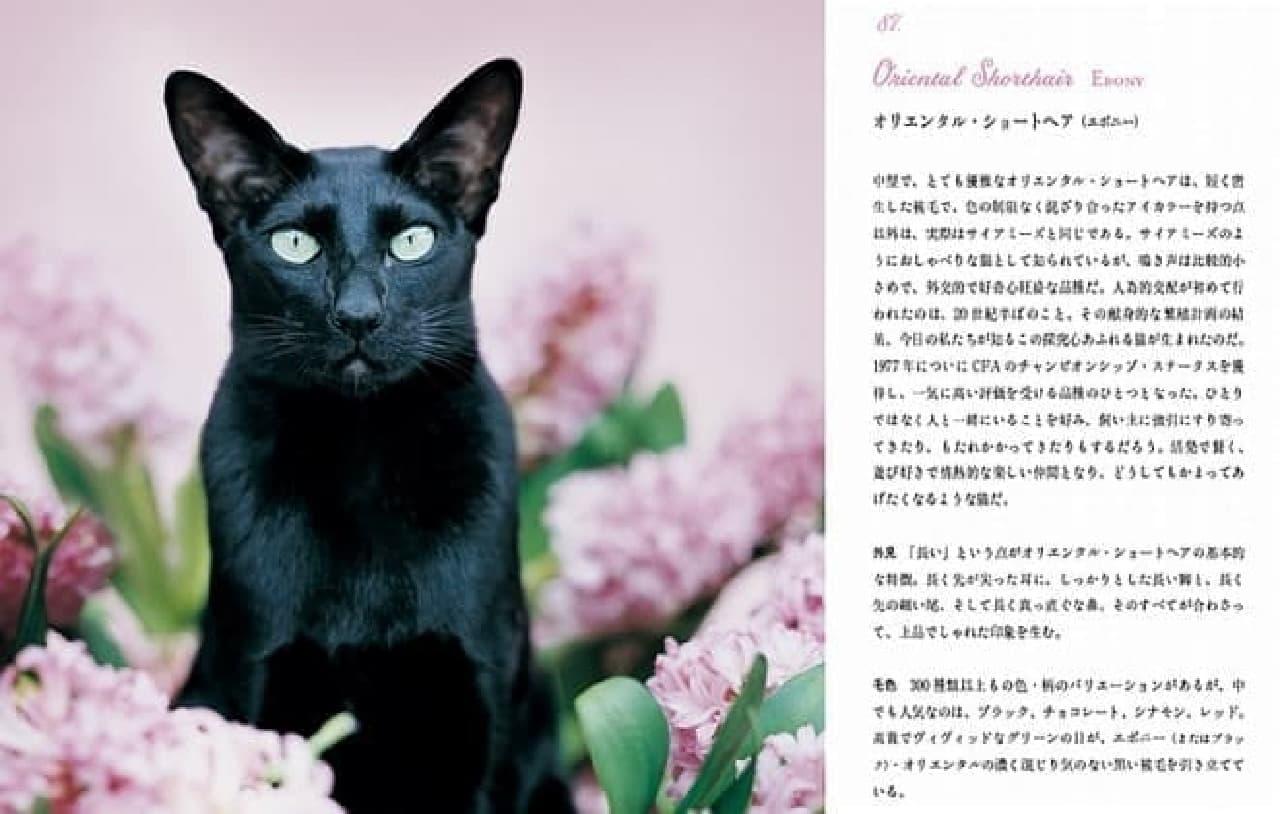 こちらは猫種紹介の例  オリエンタル・ショートヘアの特徴は「長い」だそう  耳も脚も尾も鼻も長いそうです