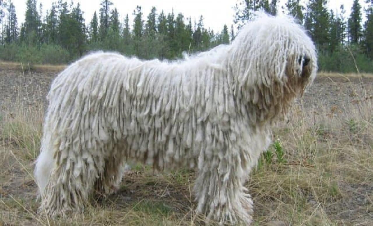 参考画像:「モップ犬」と呼ばれるコモンドール  似てます?