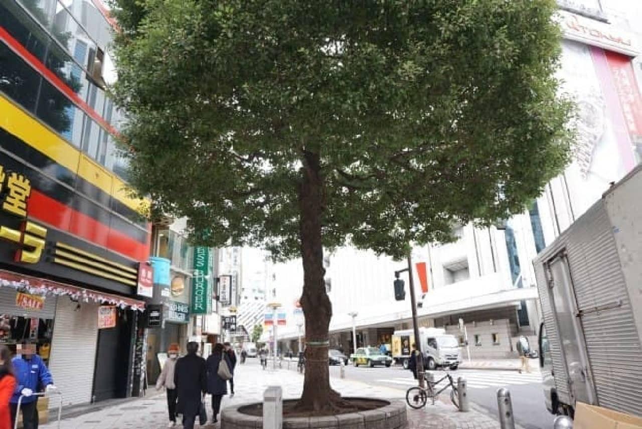 同じく渋谷を見守ってきた木