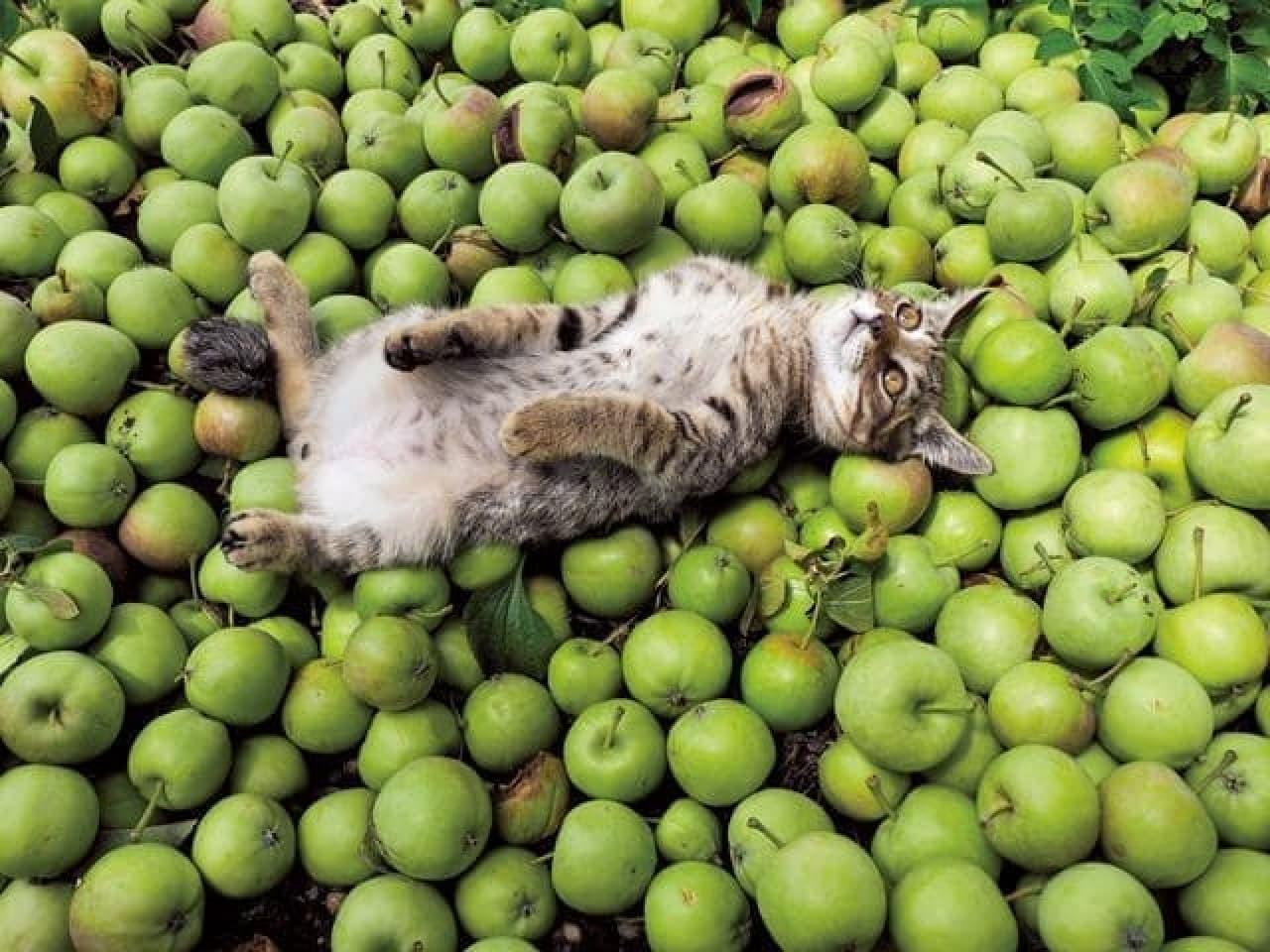 岩合光昭さんの写真展「ふるさとのねこ」夏:摘果した青いリンゴに寝ころぶネコ