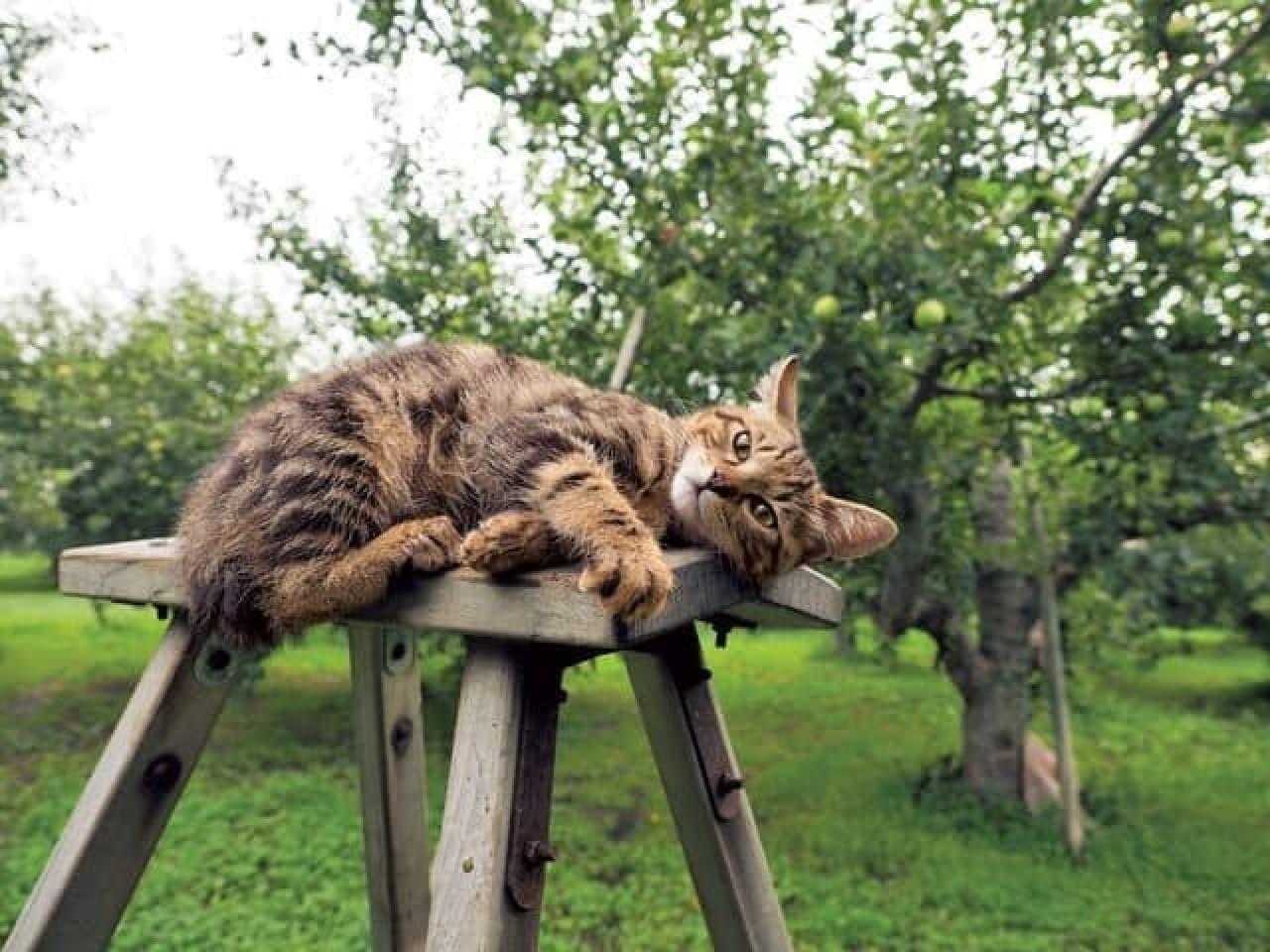 岩合光昭さんの写真展「ふるさとのねこ」夏2:脚立の上に寝転ぶネコ