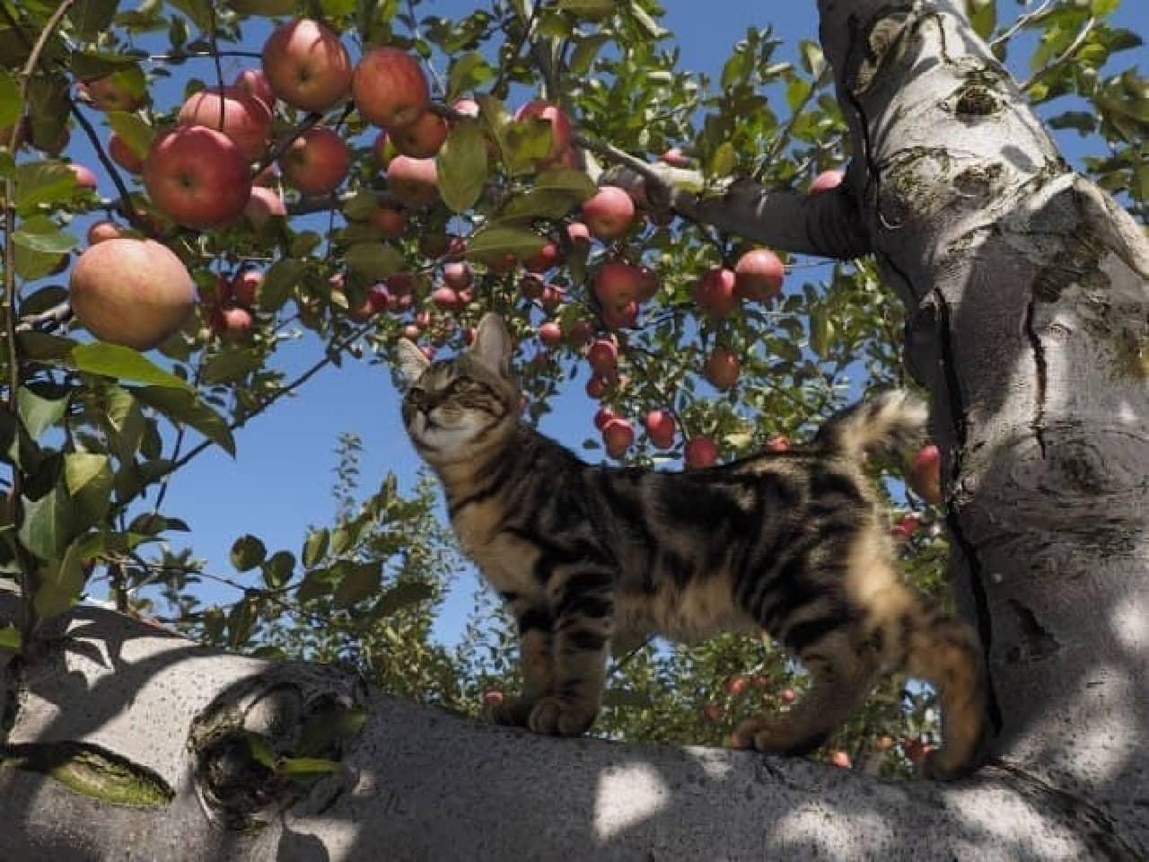 岩合光昭さんの写真展「ふるさとのねこ」秋:赤いリンゴと透き通る青い空