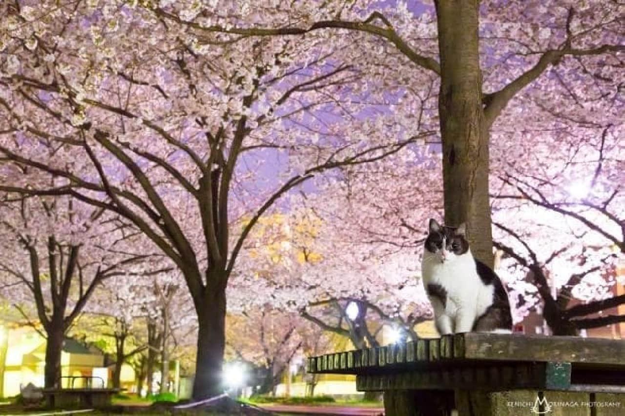 森永健一さんの写真集「あきらめニャければうまくいく」 夜桜ネコ