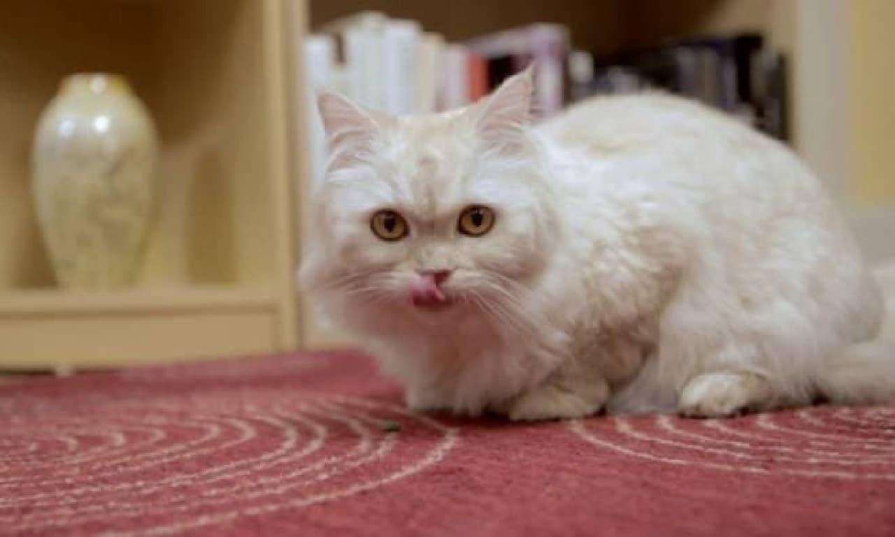 「KITTYO」でごはんを食べたネコ
