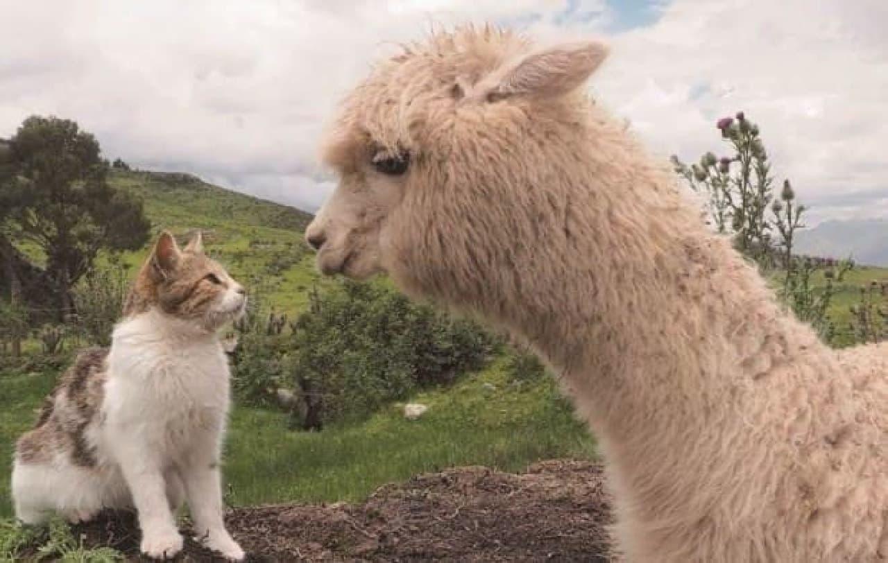 岩合光昭さん撮影の猫カレンダー「猫にまた旅2017」