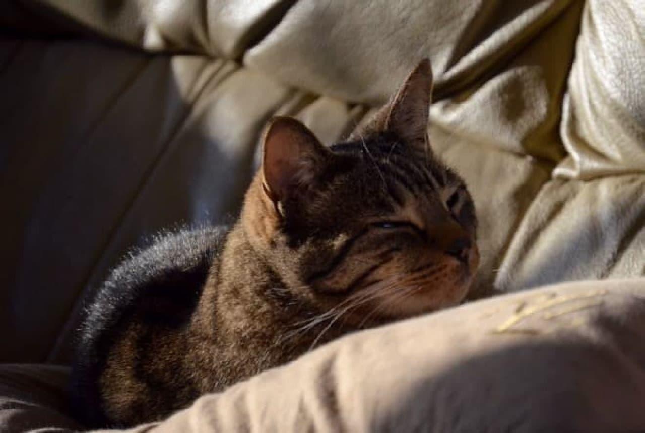 ソファに寝そべるネコ
