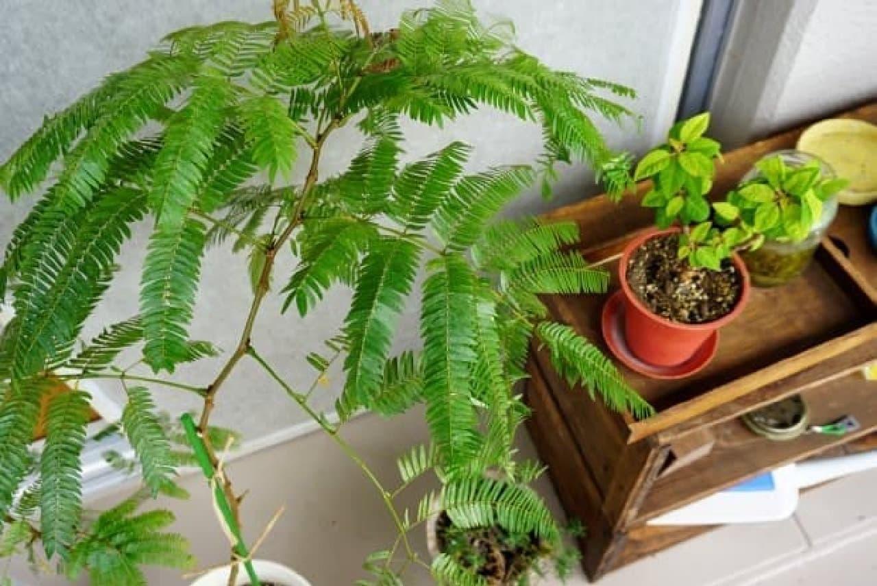 ベランダの観葉植物