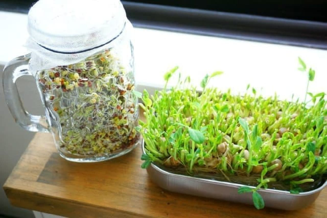 豆苗とブロッコリースプラウトの育て方
