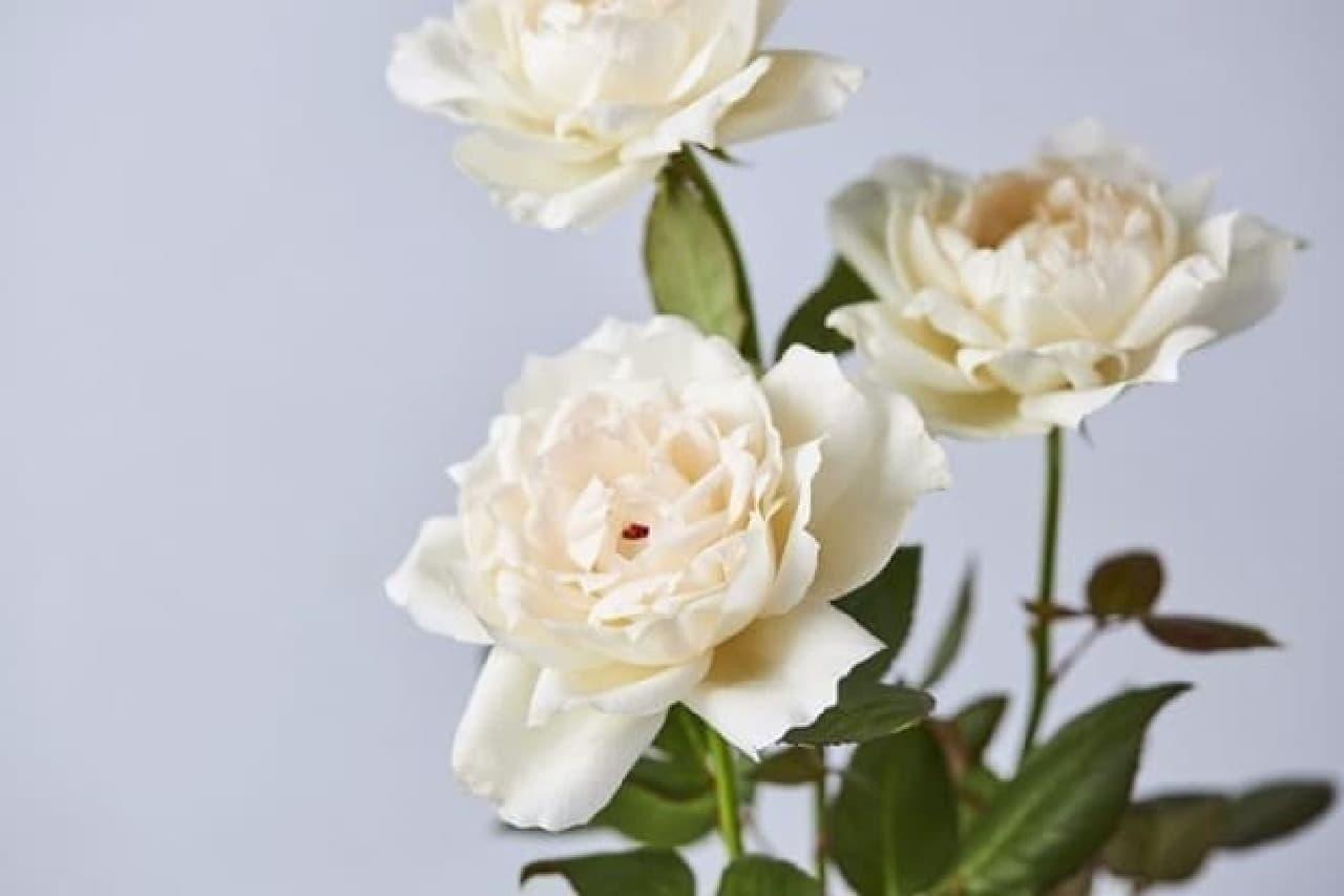 真っ白なローズの花