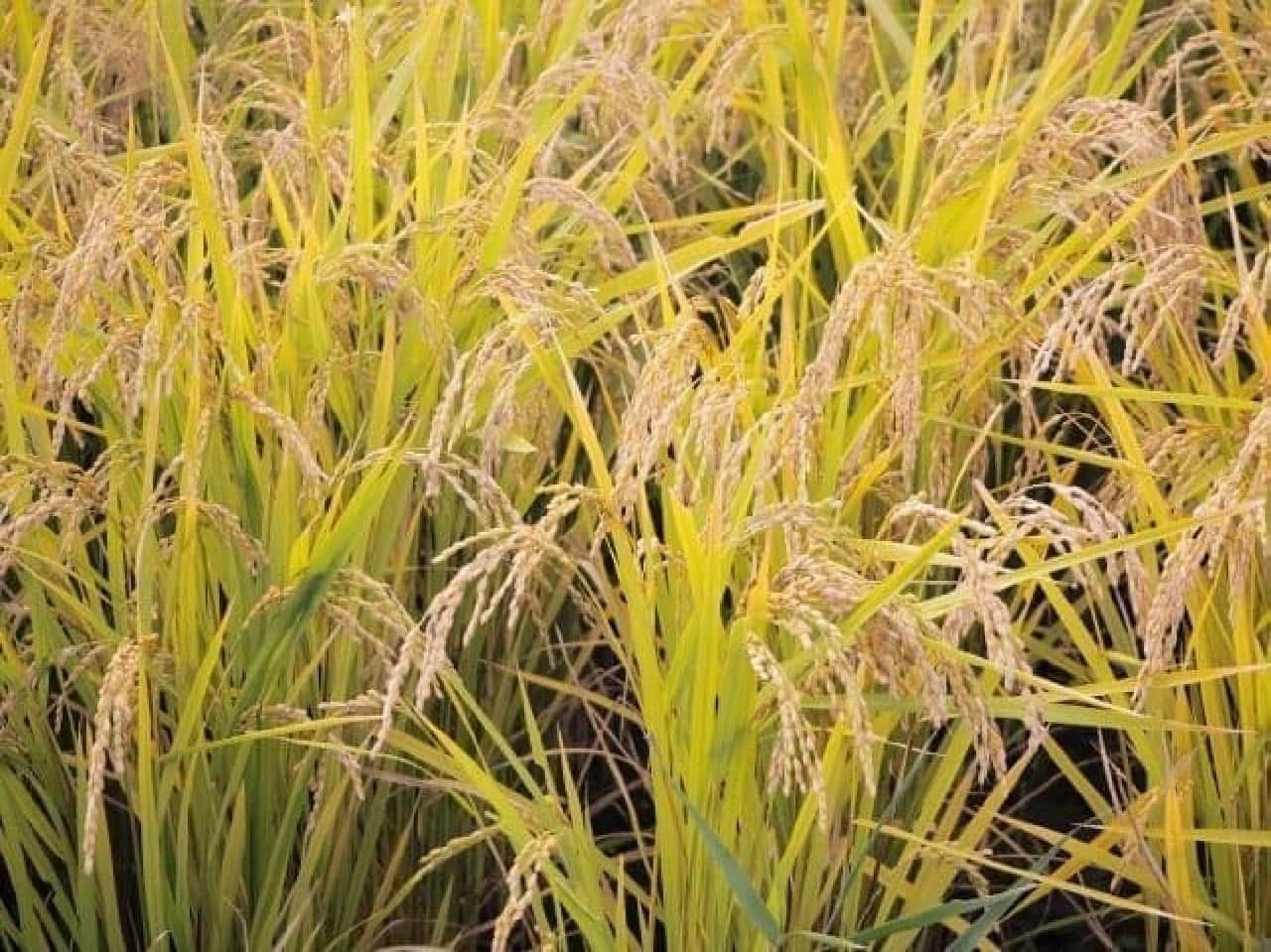 純庄内の田んぼと稲