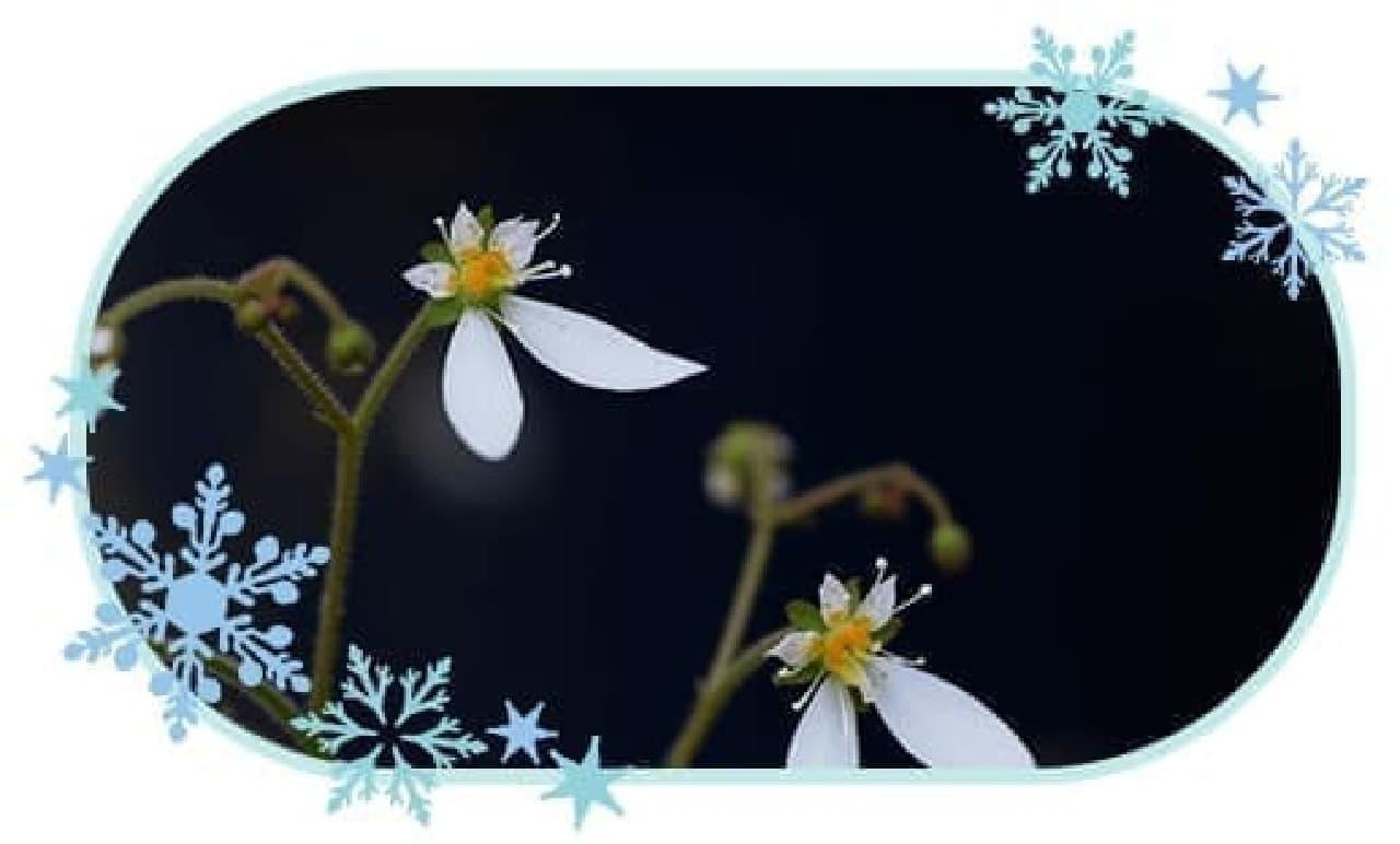 咲いているユキノシタ