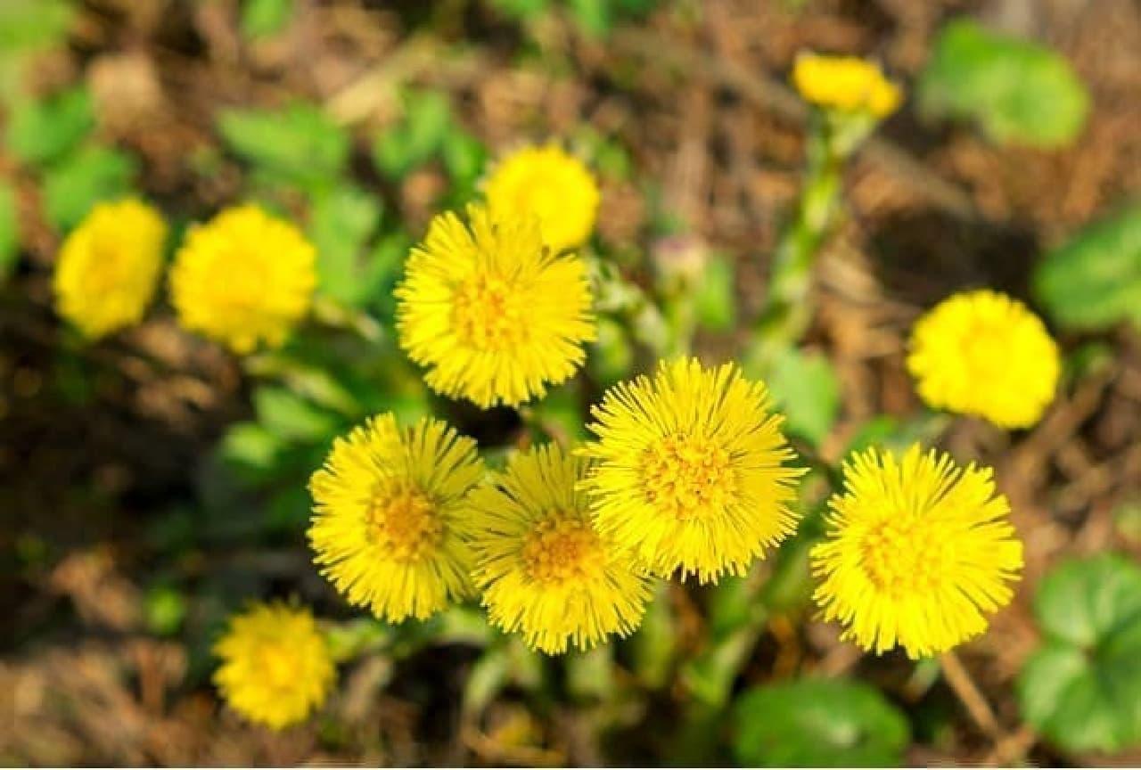 フキタンポポの花
