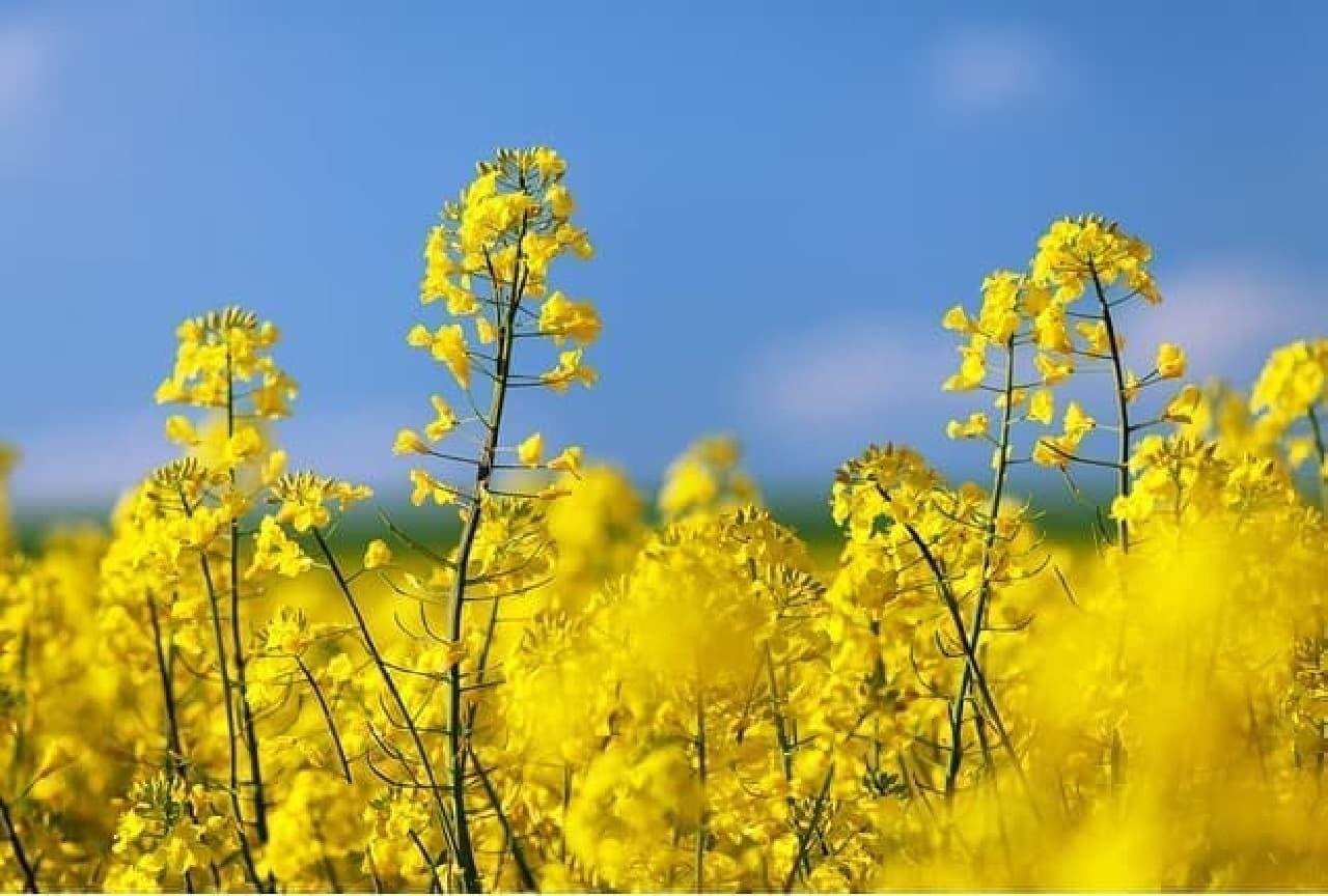 一面に菜の花が咲く畑
