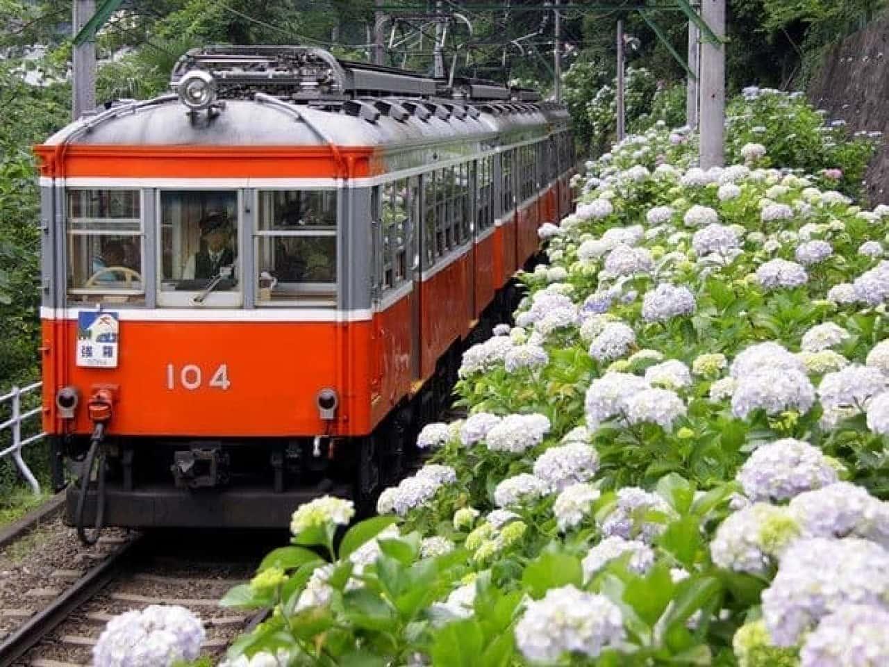 箱根登山電車のあじさい
