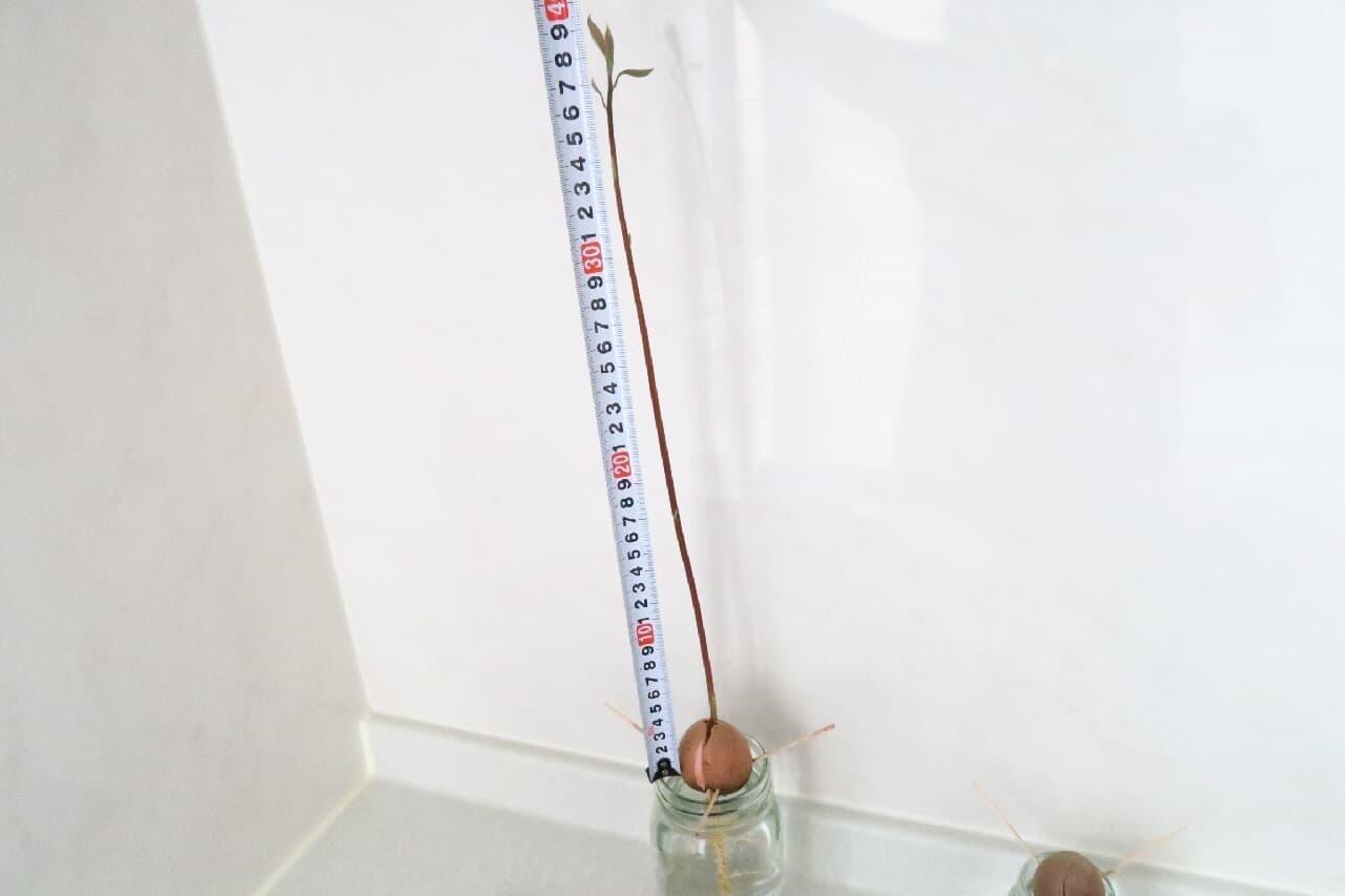 簡単&ぐんぐん育つ♪ アボカドの種の育て方 -- 空き瓶+爪楊枝で水耕栽培